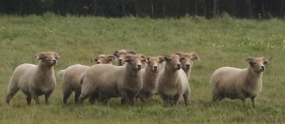 attentive-sheep.jpg