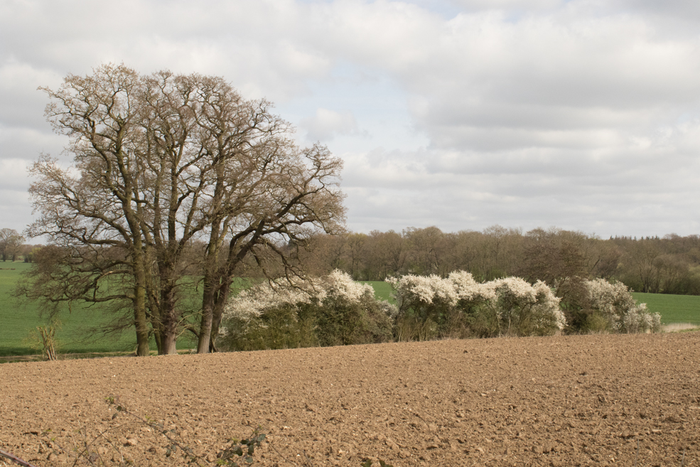 blackthorn-bushes.jpg