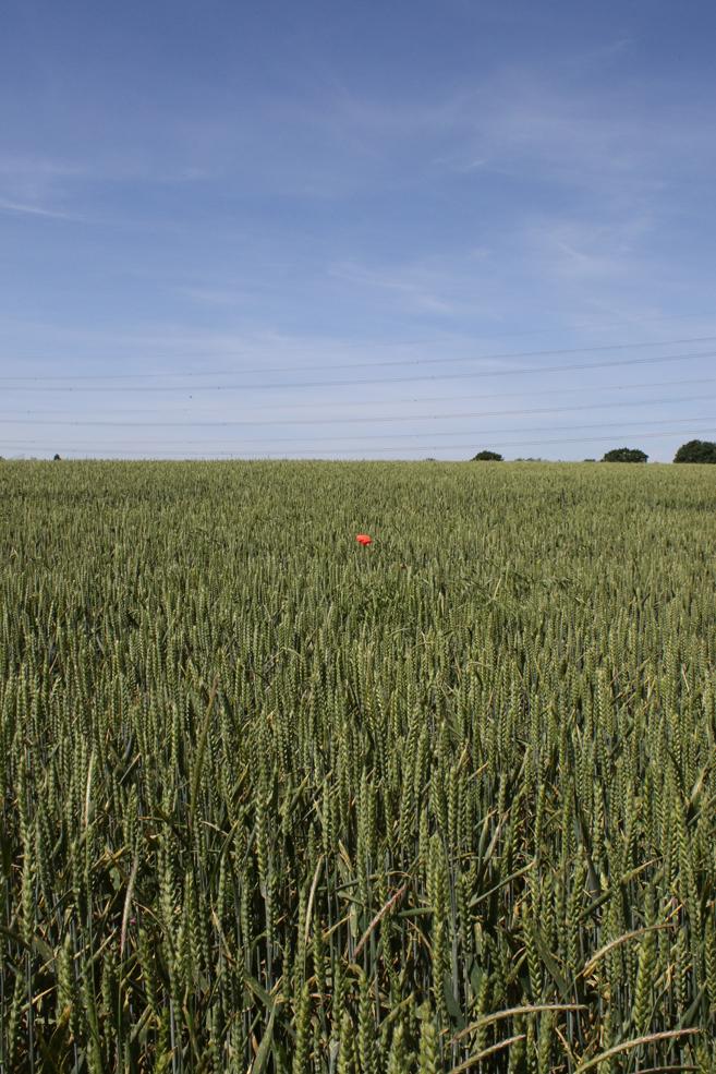 lone-poppy.jpg