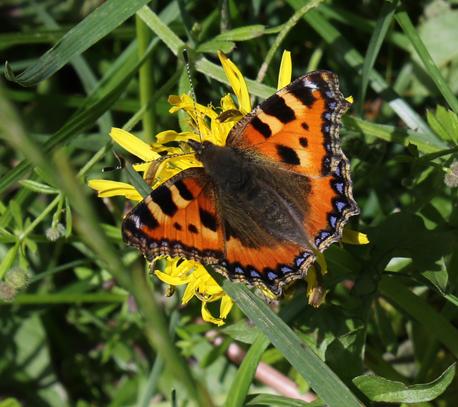 totoiseshell-butterfly.jpg